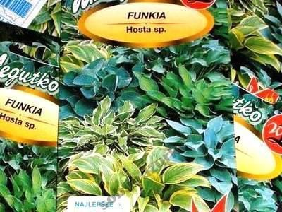 Funkia a mixture of species
